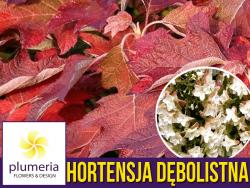 Hortensja dębolistna BLACK PORCH (Hydrangea quercifolia) Sadzonka C3