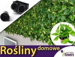 Rośliny do ogrodu wertykalnego. Epipremnum Aureum- zestaw sadzonek