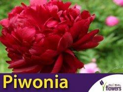 Piwonia chińska czerwona Barillet Deschamps (Peonia lactiflora) CEBULKA