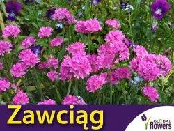 Zawciąg nadmorski, różowy (Armeria martima) 0,15 nasiona