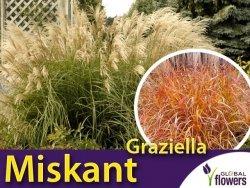 Miskant chiński 'Graziella' (Miscanthus sinensis) Sadzonka