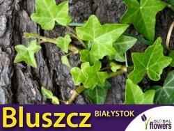 Bluszcz pospolity (Hedera helix) 'Białystok' Sadzonka