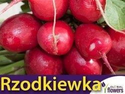 Rzodkiewka Cherry Belle (Raphanus sativus) Opakowanie XL 100g