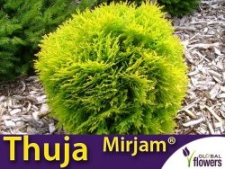 Tuja Żywotnik zachodni 'Mirjam ®' (Thuja occidentalis) Sadzonka