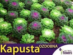 Kapusta Ozdobna Róża Kapuściana  (Brasica oleracea)