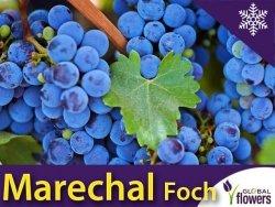 Winorośl Marechal Foch Sadzonka - odmiana przerobowa Vitis 'Marechal Foch'