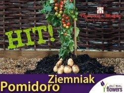 Pomidoro-ziemniak Sadzonka TomTato® (Solanum lycopersicum, Solanum tuberosum) HIT
