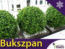 Bukszpan drobnolistny 'Faulkner' (Buxus microphylla) Sadzonka KULA C4