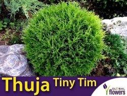 Tuja Żywotnik zachodni 'Tiny Tim' (Thuja occidentalis) Sadzonka