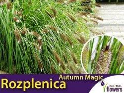 Rozplenica AUTUMN MAGIC (Pennisetum alopecuroides) Sadzonka