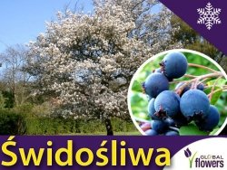 Świdośliwa 'Prince William' (Amelanchier) Sadzonka