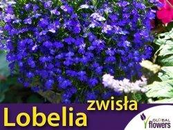 Lobelia przylądkowa zwisła Stroiczka niebieska (Lobellia erinus var pendula) 0,2g