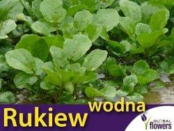 Rukiew wodna (Nasturtium officinale) Sadzonka