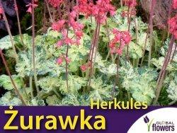 Żurawka Heuchera 'Herkules' (Heuchera) Sadzonka