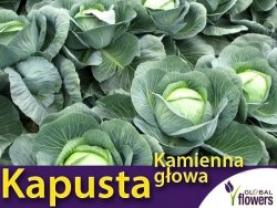 Kapusta późna - Kamienna Głowa - (Brassica oleracea Convar. Capitata var. Alba) 2g