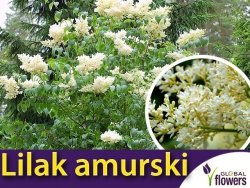 Lilak amurski ( Syringa amurensis ) nasiona 0,2g