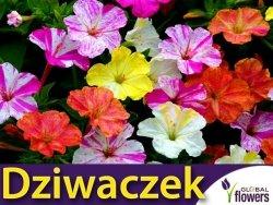 Dziwaczek (Mirabilis Jalapa) Marbles CABULKA