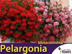 Pelargonia bluszczolistna, Speedy F2, mieszanka (Pelargonium peltatum) 5 nasion