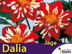 Dalia kołnierzykowa 'Jaga' (Dahlia x cultorum) Kłącza 1 szt.