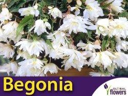 Begonia zwisająca biała (Begonia x tuberhybrida pendula) CEBULKA