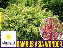 Bambus Mrozoodporny  ASIAN WONDER (Fargesia scabrida) Sadzonka C2,5