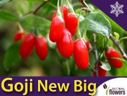 Jagody Goji 'New Big' (Lycium barbarum) Kolcowój szkarłatny Sadzonka 60-90cm