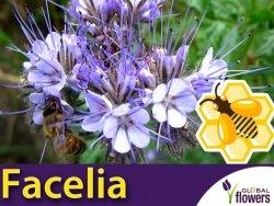 Roślina Miododajna FACELIA BŁĘKITNA (Phacelia tanacetifolia) nasiona XXL 100g