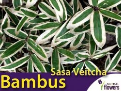 Bambus niski Mrozoodporny Sasa Veitcha (Sasa Veitcha) Sadzonka