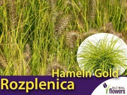 Rozplenica Piórkowa 'Hameln Gold' (Pennisetum alopecuroides) Sadzonka C2
