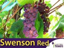 Winorośl Swenson Red Sadzonka - odmiana deserowo-przerobowa Vitis 'Swenson Red'