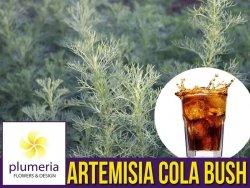 Artemisia COLA BUSH (Artemisia procera) Sadzonka C1