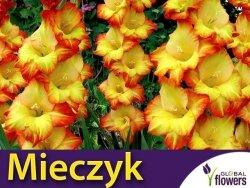 Mieczyk wielokwiatowy (Gladiolus) Princess Margareth Rose CEBULKA 5 szt