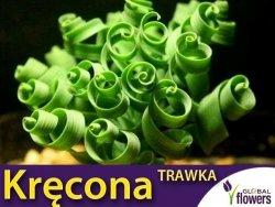 Kręcona trawka (Albuca namaquensis) nasiona