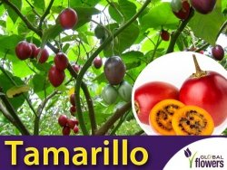 Tamarillo - Pomidor Drzewiasty (Cyfomandra grubolistna) nasiona