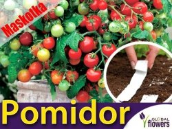Pomidor Cherry Maskotka Koktajlowy (Lycopersicon Esculentum) nasiona na taśmie