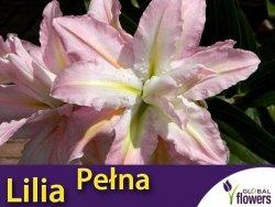 Lilia Orientalna Pełna (lilium) Soft Music CEBULKA 1 szt.