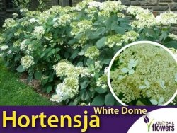 Hortensja drzewiasta 'White Dome' (Hydrangea arborescens) Sadzonka C3
