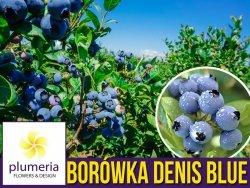 Borówka Amerykańska DENIS BLUE Sadzonka 1,5 roczna P9