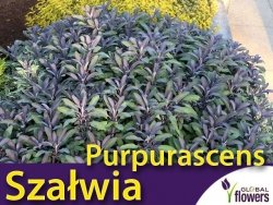Szałwia Lekarska PURPURASCENS (Salvia officinalis) Sadzonka