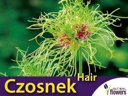 RARYTAS ! Czosnek ozdobny 'Hair' (Allium) CEBULKI 5 szt.