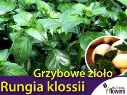 Grzybowe zioło (Rungia klossii) Sadzonka C1