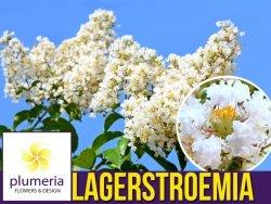 Lagerstroemia NIVEA kwitnie 120 dni (Lagerstroemia indica) Sadzonka XL-C5