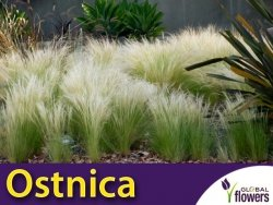 Ostnica mocna 'Pony Tails' zielona (Stipa tenuissima) nasiona 0,05g