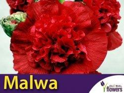 Malwa pełna (Alcea rosea) Scarlet KŁĄCZA 1 szt
