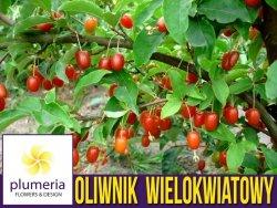 Oliwnik wielokwiatowy Jagody Gumi (Elaeagnus multiflora) Sadzonka XL-C5