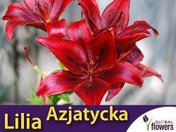 Lilia Azjatycka (lilium) Black Out CEBULKA 1szt.