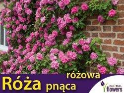 Róża pnąca 'różowa' (Rosa) Sadzonka C2