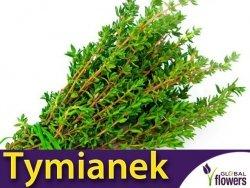Tymianek właściwy (Thymus vulgaris) Sadzonka