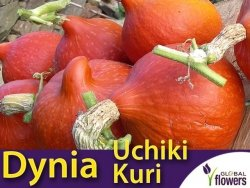 Dynia olbrzymia HOKKAIDO - UCHIKI KURI (Cucurbita pepo) nasiona 5g
