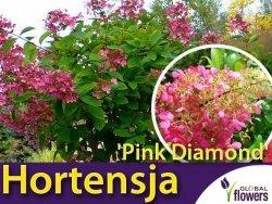 Hortensja Bukietowa PINK DIAMOND (Hydrangea paniculata) Sadzonka C3
